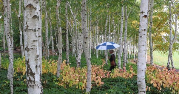 A forest of Silver Birch at Mayfield Garden